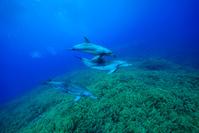 ミナミハンドウイルカの群れ
