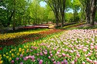 埼玉県 森林公園のチューリップ畑