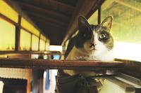 カーテンレールの上から見つめる猫