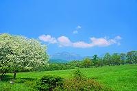 山梨県 ズミ(コナシ)の花咲く八ヶ岳牧場と八ヶ岳
