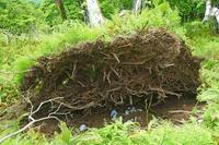 三重県 強風に倒れた木