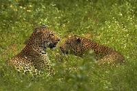 南アフリカ共和国 クルーガー国立公園 ヒョウ