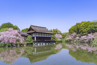 京都 平安神宮 桜