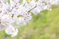 満開の桜と新緑