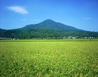 茨城県 稲穂と筑波山