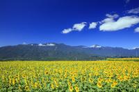 山梨県 明野のヒマワリ畑と南アルプス連峰と雲