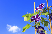 朝の日差しを受ける日本朝顔と夏の青空