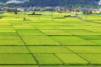 神奈川県 田んぼ