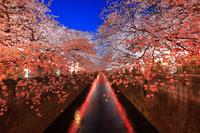 東京都 目黒川沿いの夜桜
