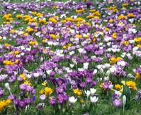 クロッカスの花畑