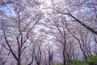 兵庫県 赤穂御崎 桜
