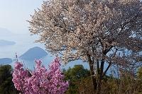 香川県 紫雲出山の山桜とハナモモ