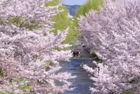 京都 伏見 春の濠川の桜