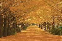 東京都 国営昭和記念公園 イチョウ並木
