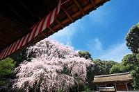 京都府 醍醐寺の枝垂桜