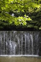 新緑のモミジと滝