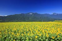 山梨県 明野のヒマワリ畑と南アルプス連峰