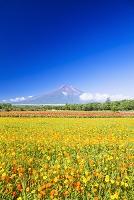 山梨県 富士山とキバナコスモス