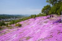 北海道 芝ざくらが咲き誇る芝ざくら滝上公園
