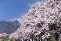 山梨県 眞原桜並木