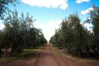 モロッコ オリーブ畑と並木道