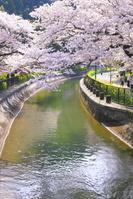 京都府 桜のびわ湖疏水