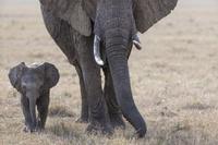 ケニア 象