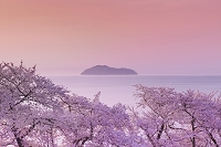 滋賀県 琵琶湖と竹生島と桜の朝
