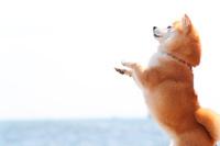 立っている豆柴犬