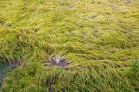 鳥取県 風害で倒れた稲