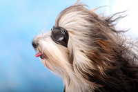 防風メガネのハバニーズ犬