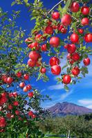 青森県 りんごと岩木山