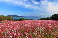 福岡県 このしまアイランドパークのコスモス