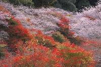 愛知県 四季桜