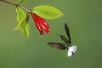 ドウボウシハチドリ