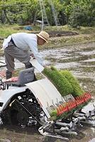 水田で田植え作業をする日本人男性