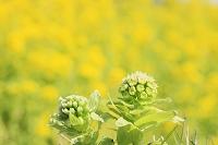 花 フキノトウとナノハナ畑