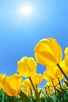 黄色いチューリップの花と太陽