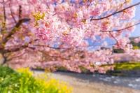 静岡県 河津町 河津桜
