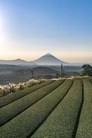 鹿児島県 茶畑と開聞岳