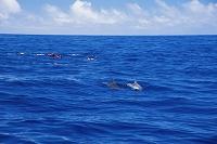 小笠原諸島 ドルフィンスイムとミナミハンドウイルカ