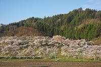 福島県 東雲桜