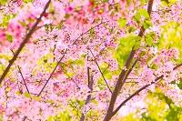桜の花と若葉