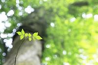 ブナの若葉と巨樹
