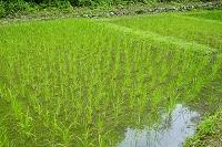 滋賀県 赤米の水田