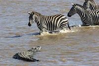 アフリカ  シマウマを襲うワニ
