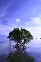 沖縄県 八重山列島 西表島の朝 ヤエヤマヒルギ