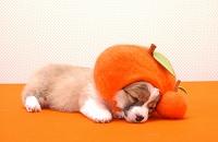 ウェルシュコーギー みかんと寝ている仔犬