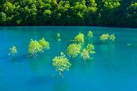 秋田県 秋扇湖の水中木