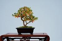 小品盆栽 皐月 若恵比寿